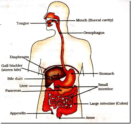 digestive system in human beings – e-biology, Human Body
