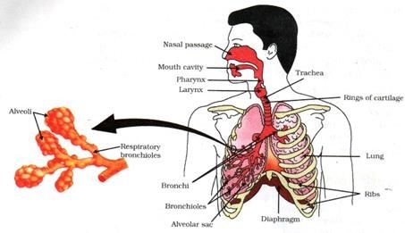 Related Post of Respiratory system in humans video